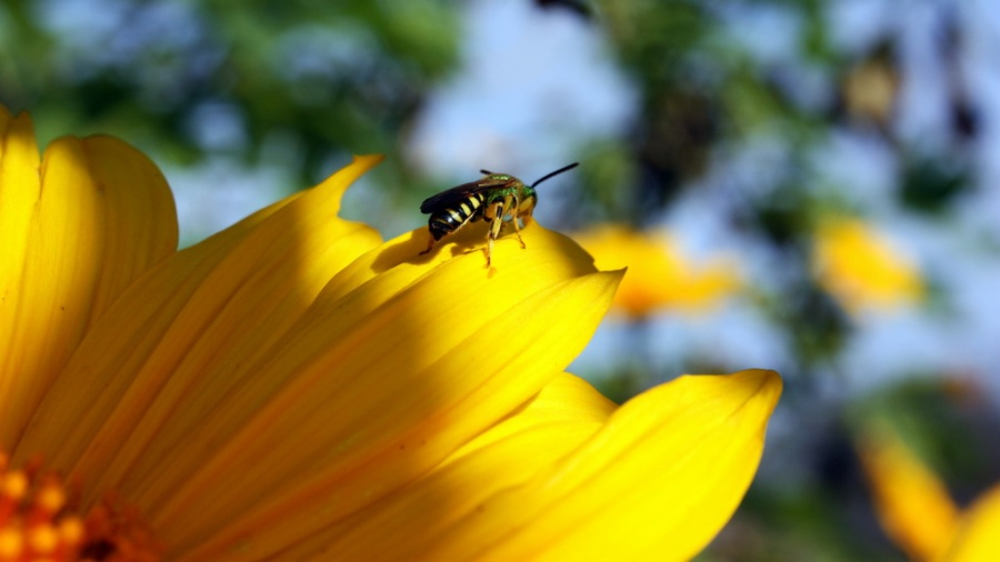 Mexican Sunflower With Bee